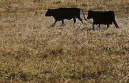 Morucha negra cattle,.Ciudad Rodrigo, Salamanca Region, Castilla y León, Spain.