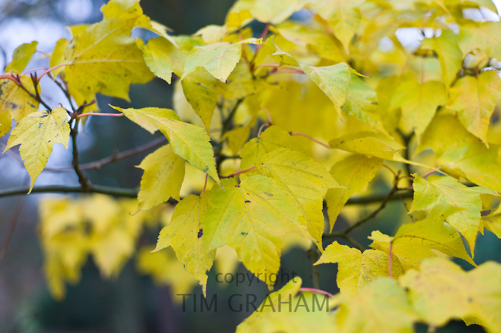 Autumn colour Acer Maple tree during autumn in The Cotswolds, UK