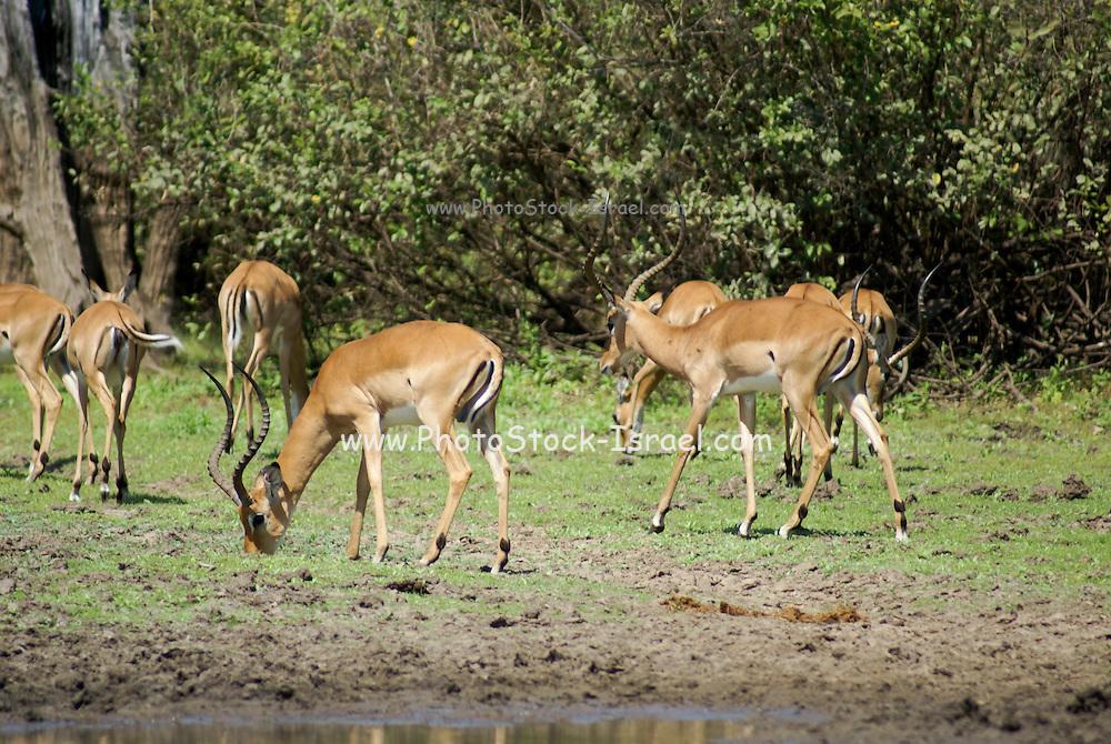 Africa, Tanzania, Serengeti National Park. A herd of Impala Aepyceros melampus