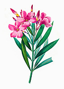 19th-century hand painted Engraving illustration of flowers of a Nerium oleander shrub, by Pierre-Joseph Redoute. Published in Choix Des Plus Belles Fleurs, Paris (1827). by Redouté, Pierre Joseph, 1759-1840.; Chapuis, Jean Baptiste.; Ernest Panckoucke.; Langois, Dr.; Bessin, R.; Victor, fl. ca. 1820-1850.