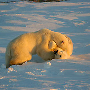 Polar Bear (Ursus maritimus) Two bears wrestle during a play fighting session along the shores of Hudson Bay, near Churchill, Manitoba, in November. Canada. Winter.