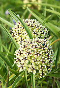 Antelope Horn (Asclepias asperula) is milkweed native to central Texas. Monarchs lay their eggs solely on milkweed and is what the caterpillars must eat to survive.