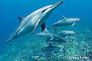 Hawaiian spinner dolphins or long-snouted spinner dolphins, or Gray's spinner dolphins, Stenella longirostris longirostris, Keauhou, Kona, Hawaii ( the Big Island ) Central Pacific Ocean