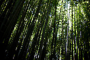 Japan - Kamakura - bamboo grove at H?koku-ji -July 2011