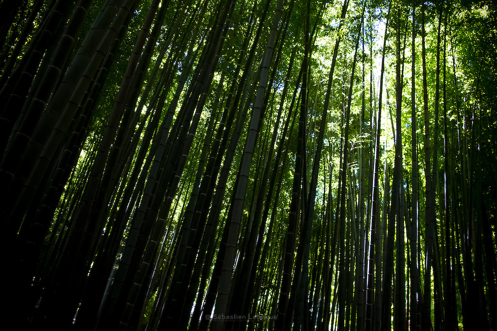 Japan - Kamakura - bamboo grove at H?koku-ji -July 2011