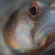 Close-up of Amblyeleotris sp. shrimp goby