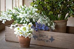 Cut flowers at Little Trevean Nursery, Penzance.  Summer snowflake (Leucojum aestivum 'Gravetye Giant'), Christmas rose (Helleborus niger), Grape hyacinths (Muscari), Snowdrops (Galanthus nivalis) and Widow iris (Hermodactylus tuberosus syn. H. tuberosa)
