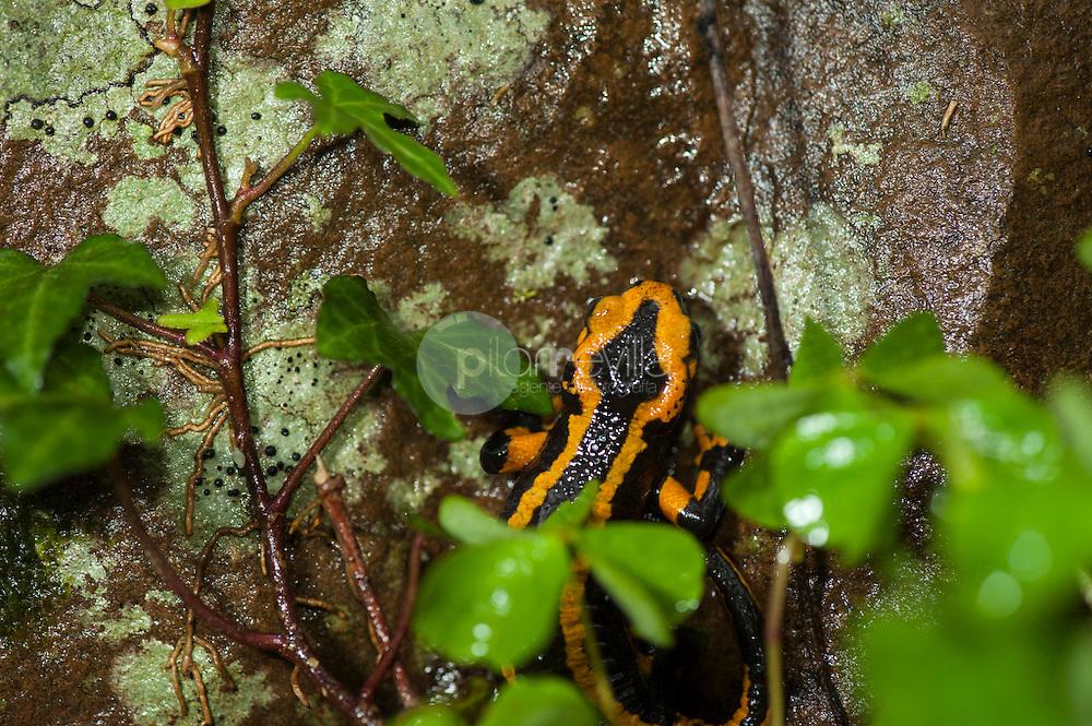Salamandra común (Salamandra salamandra) ©Country Sessions / PILAR REVILLA