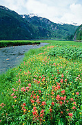 Alaska. Misty Fjords National Monument. Mountain stream meets tidal flat with Indian Paintbrush and Snow Buttercup.