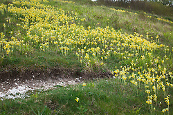 Cowslips growing on a hill in Hampshire. Primula veris. Showing chalky soil