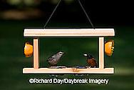 00585-034.06 Gray Catbird (Dumetella carolinensis) & Orchard Oriole (Icterus spurius) male at jelly/orange feeder Marion Co.  IL