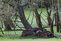 Nutrias or coypus (Myocastor coypus), adult and cub resting  at their burrow in an oxbow of the river Allier. Pont-du-Chateau, France.
