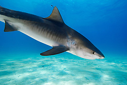 Tiger Shark, Galeocerdo cuvier, showing nictitating membrane to protect eyes, West End, Grand Bahama, Atlantic Ocean