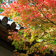 Colorful momiji Japanese maple leaves in autumn, at Nison-in in Kyoto.