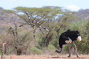 Kenya, Samburu National Park a male ostrich