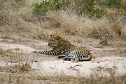 Africa, Tanzania, leopard (Panthera pardus)