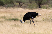 The Somali ostrich (Struthio molybdophanes), also known as the blue-necked ostrich, is a large flightless bird native to the Horn of Africa.[2] It was previously considered a subspecies of the common ostrich, but was identified as a distinct species