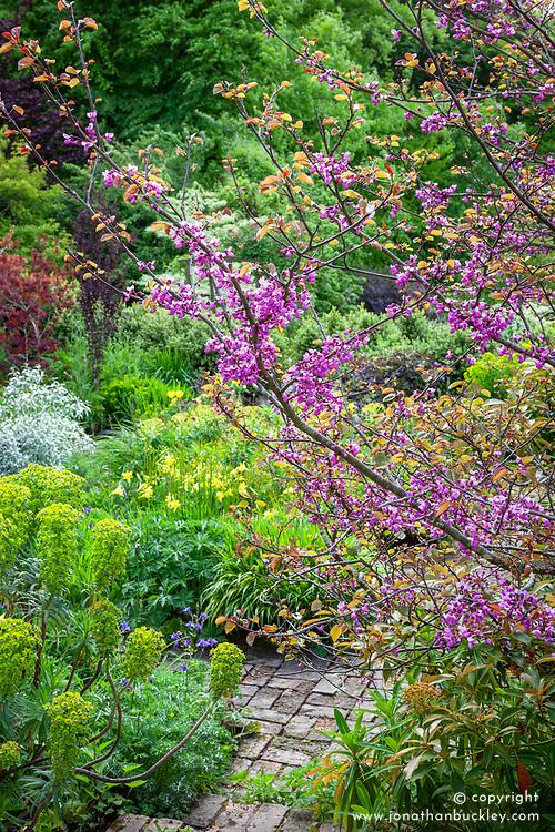 Cercis siliquastrum AGM at Glebe Cottage. Judas tree