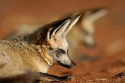 Bat-eared fox (Otocyon megalotis) | Während der heißesten Stunden des Tages dösen oder schlafen die Löffelhunde (Otocyon megalotis) im Familienverband. Wenn die Schatten lang sind - also in den frühen Morgenstunden und am Abend - wird es Zeit, den Ruheplatz zwischen den Büschen zu verlassen. Jetzt sind die Temperaturen nicht mehr zu hoch, um zu jagen, aber auch noch nicht so niedrig, dass die wichtigsten Beutetiere, die Insekten, nicht mehr aktiv sind.