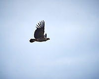 Andean Condor soaring while traveling from Estancia Lazo to Hosteria Lago Grey. Torres del Paine National Park, Chile. Image taken with a Nikon D3s camera and 70-300 mm VR lens (ISO 200, 300 mm, f/10, 1/400 sec).