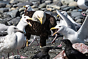An adult bald eagle muscles past complaining seagulls on the way to grab fish scraps off the beach at Anchor Point, Alaska.
