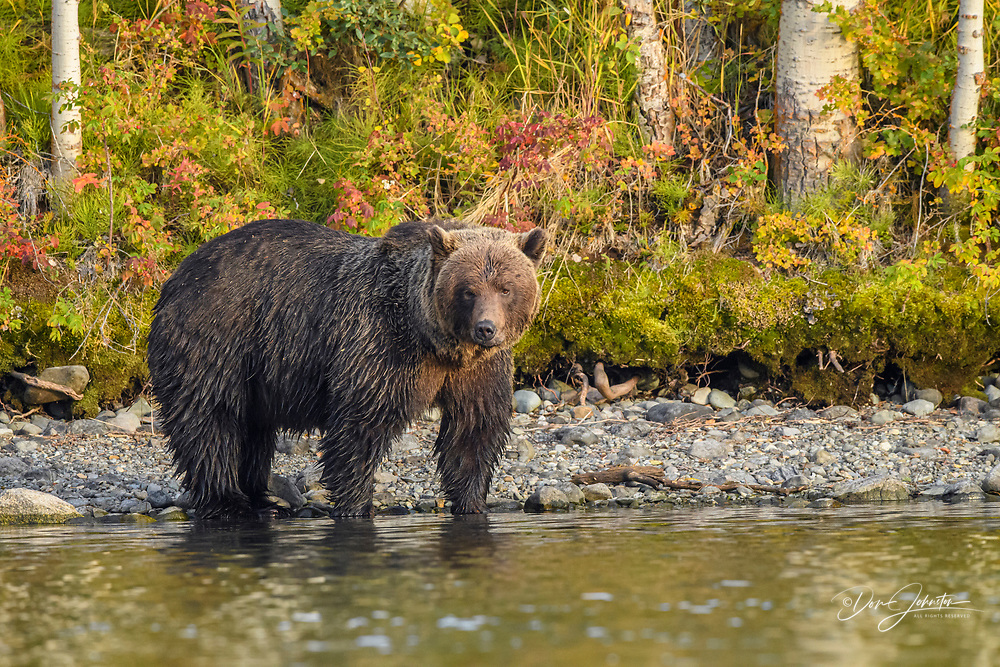 Grizzly bear (Ursus arctos)- Mother bear hunting sockeye salmon spawning in the Chilko River, Chilcotin Wilderness, BC Interior, Canada, Chilcotin Wilderness, BC Interior, Canada