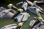 Brown Pelicans in the sea, Islamorada, Florida Keys, USA