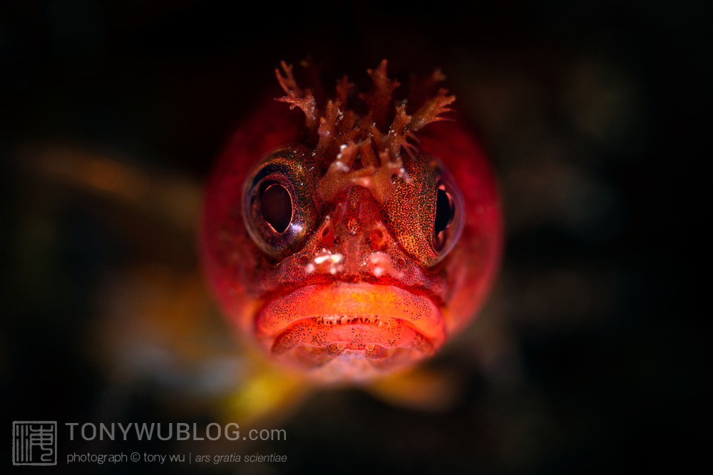 This is a head-on view of a Neoclinus lacunicola chaenopsid blenny, a species that can be found in shallow waters of the northwest Pacific. The species reaches a maximum length of about 6cm. The Japanese name for this fish is iwa-ana-kokeginpo. Photographed at a magnification of two times life-size.