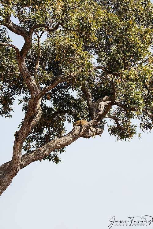 A leopard resting in a tree (Panthera pardus), Chobe National Park, Botswana, Africa
