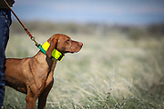 SHOT 5/9/20 10:13:41 AM - Various pointing breeds compete in the Vizsla Club of Colorado Licensed Hunt Test Premium at the Rocky Mountain Sporting Dog Club Grounds in Keenesburg, Co. (Photo by Marc Piscotty / © 2020)
