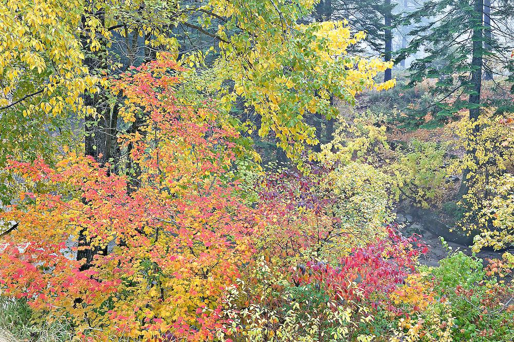 autumn trees in mist, Stevens Pass, Washington State