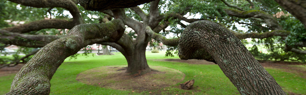 Live Oak tree on the grounds of the Louisiana Old State Capitol in Baton Rouge, La.