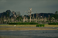 Roosting trees and breeding location for Great cormorant, Phalacrocorax carbo, Anklamer Stadtbruch, Anklamer Stadtbruch, Peene valley, Anklam, Germany
