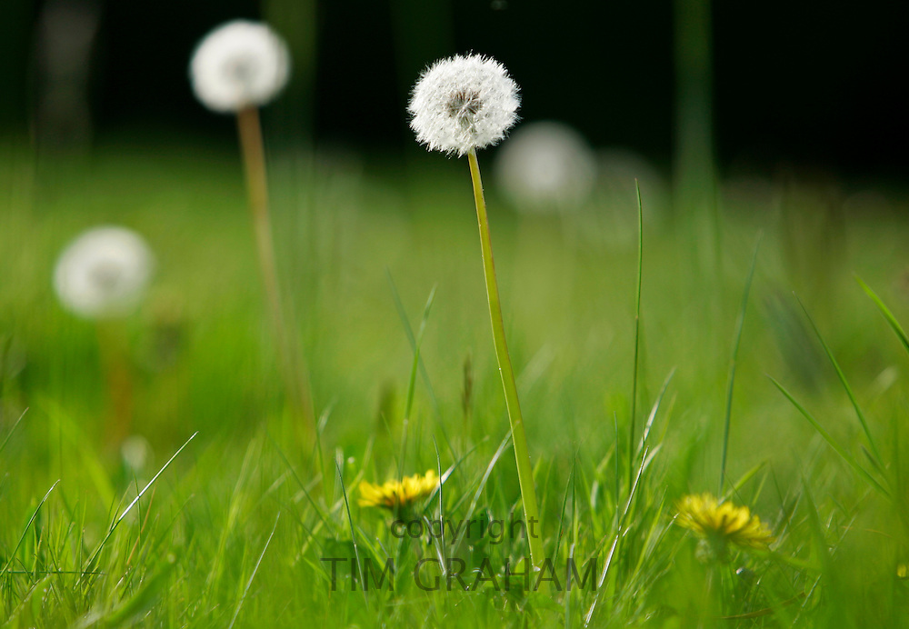 Dandelions growing, England