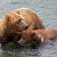 USA, Alaska, Katmai. Grizzly sow stays alert of surroundings with her first-year cub in river at Brooks Falls.
