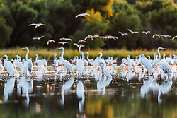 Great egrets and flying wood storks, Lemon Lake, Great Trinity Forest near Trinity River, Dallas, Texas, USA.