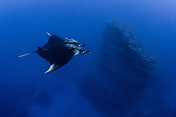 A Giant Manta, Manta birostris, glides past a submerged volcanic pinnacle at San Benidicto, Revillagigedo Islands, Mexico, Pacific Ocean
