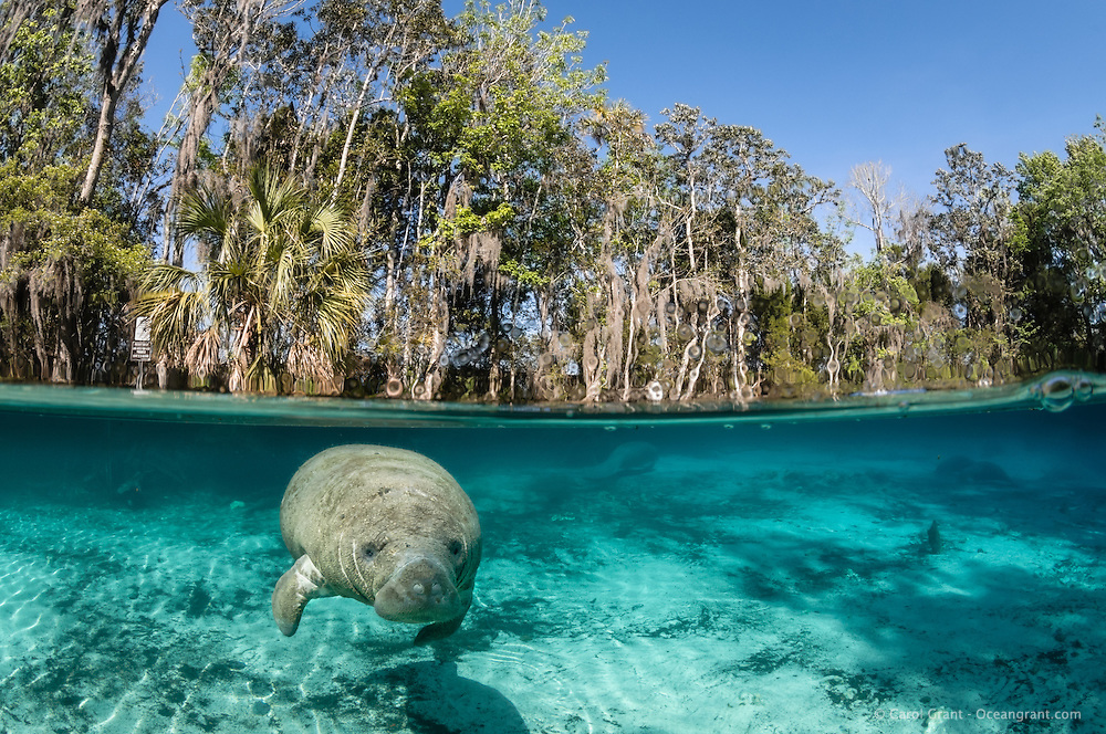 Florida manatee, Trichechus manatus latirostris, a subspecies of the West Indian manatee, endangered. A young curious calf looks out in this scenic image from the springs. Blue water from a springhead to the right often mixes with more greenish water on the left to produce a vibrant mix. More manatee rest near the warmest waters. Horizontal orientation split image. Three Sisters Springs, Crystal River National Wildlife Refuge, Kings Bay, Crystal River, Citrus County, Florida USA.