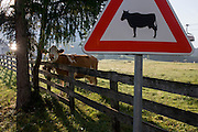 Grazing Alpine cows in a field where a chairlift operates overhead in Leonhard-St Leonardo, a Dolomites village in south Tyrol, Italy.