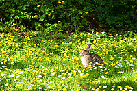 The humble eastern cottontail is an explosive breeder. Common all over the Eastern half of North American, this species is quickly spreading not only across parts of the American West, most of Mexico and the Pacific Northwest, but to other continents around the world. This one was found nibbling on fresh springtime grasses and wildflowers in Seattle, Washington.