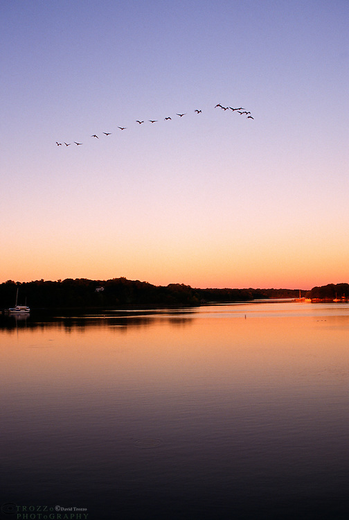 Canada Geese take flight along the Sassafras River in Georgetown Maryland.The Sassafras River is a tributary of the Chesapeake Bayon Maryland's Eastern Shore.