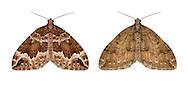 70.103 (1750)<br /> Water Carpet - Lampropteryx suffumata