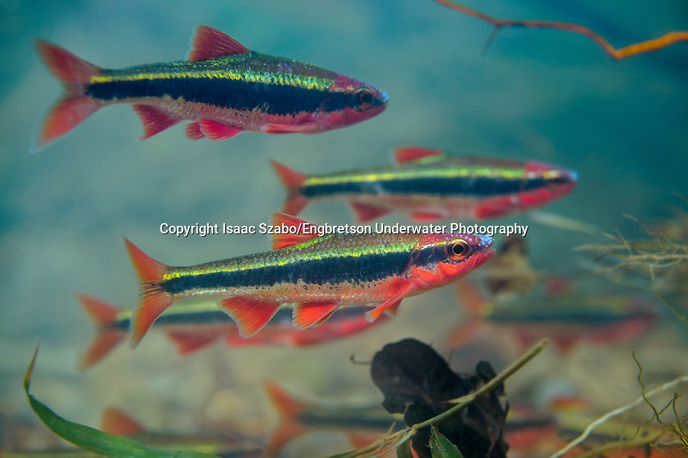 Cardinal Shiner<br /> <br /> Isaac Szabo/Engbretson Underwater Photography