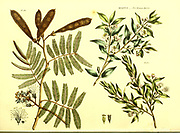 Myrtus [Roman Myrtle] from Vol II of the book The universal herbal : or botanical, medical and agricultural dictionary : containing an account of all known plants in the world, arranged according to the Linnean system. Specifying the uses to which they are or may be applied By Thomas Green,  Published in 1816 by Nuttall, Fisher & Co. in Liverpool and Printed at the Caxton Press by H. Fisher