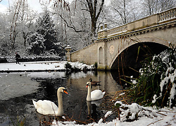 © Licensed to London News Pictures. 10/02/2012, London, UK. Swans swim in a small patch of unfrozen water. People enjoy the snow in the grounds of Chiswick House in West London today 10 February 2012. Chiswick House, undergoing restoration,  is the first and one of the finest examples of neo-Palladian design in England.  Inspired by the architecture of ancient Rome and 16th Century Italy, the third Earl of Burlington built the house as a homage to Renaissance architect Palladio.The cold weather across the UK is set to continue over the weekend.  Photo credit : Stephen Simpson/LNP