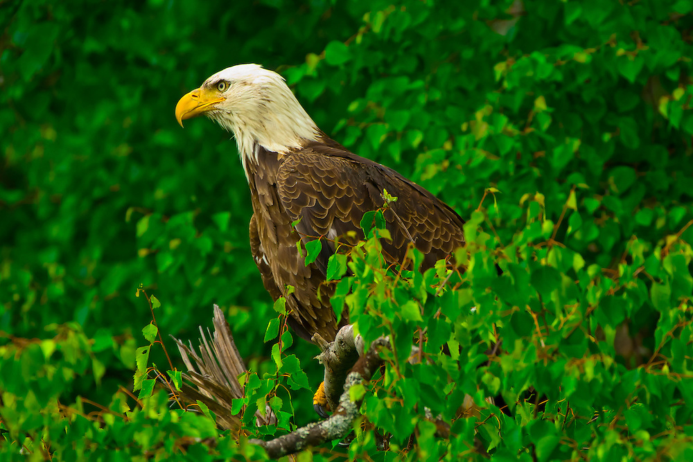 Bald eagle perched in a tree along Big Bear Lakes (near Redoubt Bay Lodge), Cook Inlet, Alaska