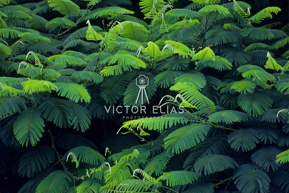 Tabachin tree detail of leaves and branches. Mexico