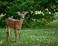 Doe with bright eyes reflecting the flash. Late-spring backyard nature in New Jersey. Image taken with a Nikon D2xs camera and 70-200 mm f/2.8 lens + 1.4 TC-E II teleconverter and SB-800 flash (ISO 100, 185 mm, f/4, 1/60 sec)