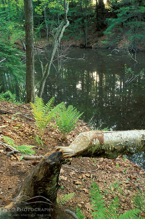 A beaver's work along Woodman Brook, a tributary of the Lamprey River.  Durham, NH