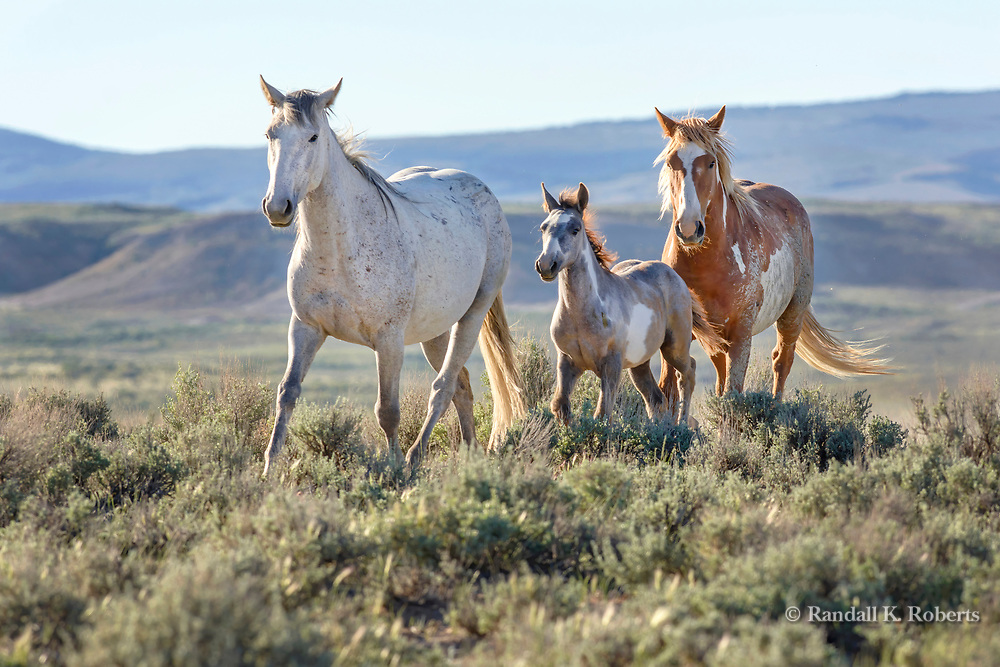 A family of wild horses runs through the sage brush of the Sand Wash Basin Wild Horse Management BLM area in northwest Colorado